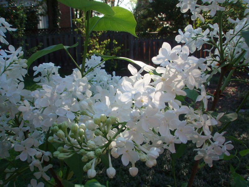 Lilac1 2010 sized
